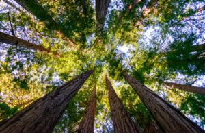Wood Lover Paralysis From Magic Mushrooms: The Aeruginascin