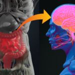 Figure showing the connection between gut and brain